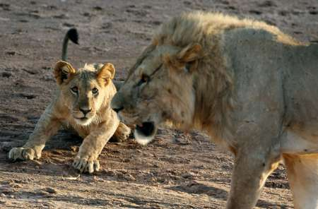 Lions, Kenya [REUTERS 2006-02-02]; Image ONLY