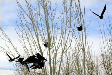 Crows, Bird Flu, Turkey [AFP 2006-02-04]; Image ONLY