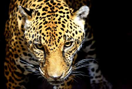 Jaguar, Costa Rica [Reuters 2006-02-03]; Image ONLY