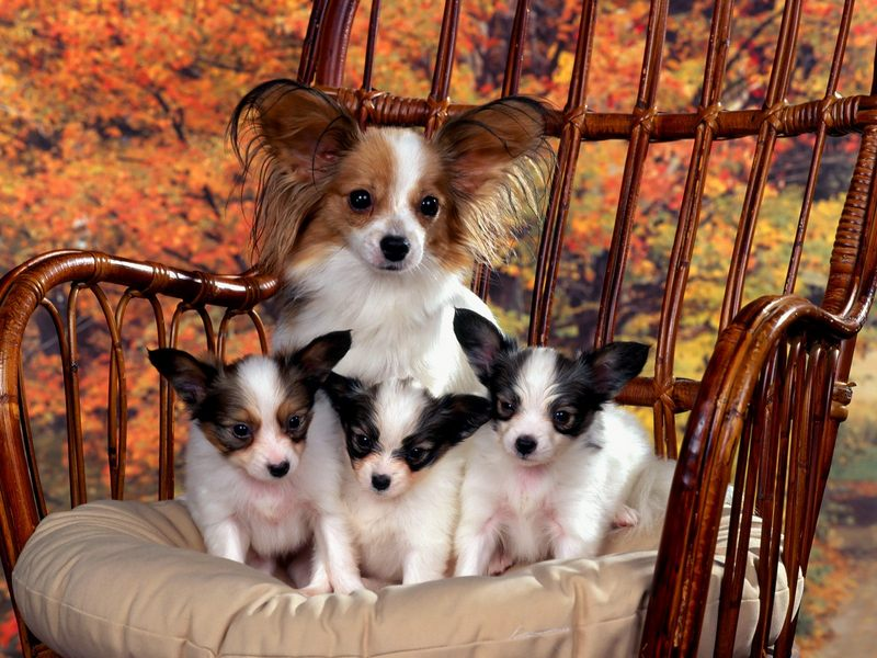 [Daily Photos] Papillon Mom and Puppies; DISPLAY FULL IMAGE.