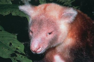 Golden-mantled tree kangaroo (Dendrolagus pulcherrimus), Indonesia [AP 2006-02-07]; Image ONLY