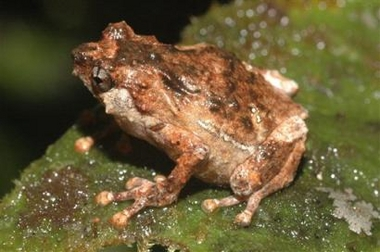Rainforest Frog, New Species, Albericus sp., Indonesia [AP 2006-02-07]; Image ONLY