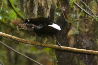 Berlepsch's six-wired bird of paradise, Indonesia [REUTERS 2006-02-06]; Image ONLY
