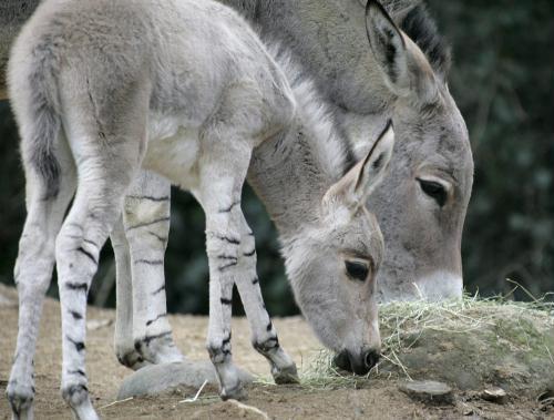 African Wild Ass (Equus asinus), Switzerland.jpg