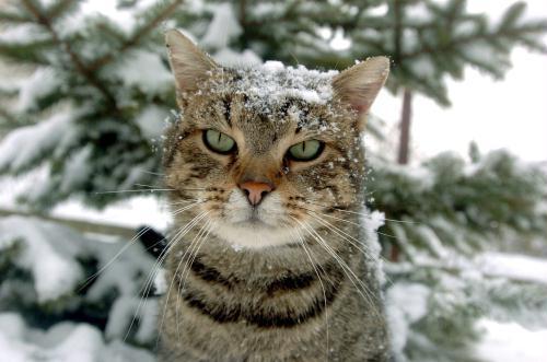 Snow Cat, Hungary.jpg