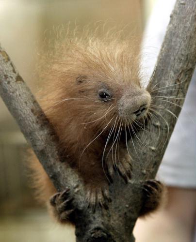 Baby prehensile-tailed porcupine, USA.jpg