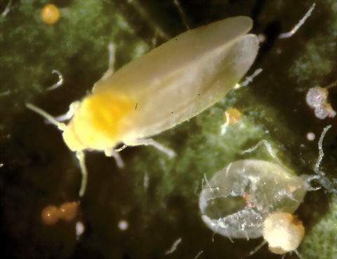 Whiteflies a troublesome enemy to leafy greens [CourierPostOnline 2006-02-10]; Image ONLY