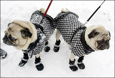 Pugs, USA [AFP 2006-02-12]; Image ONLY