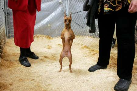 Miniature Doberman Pinscher, Dog Show, USA [REUTERS 2006-02-13]; Image ...