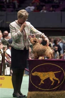 Norfolk Terrier, Westminster Kennel Club Dog Show, USA [AP 2006-02-13]; Image ONLY