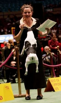 Smooth Fox Terrier, Westminster Kennel Club Dog Show, USA [REUTERS 2006-02-13]; Image ONLY