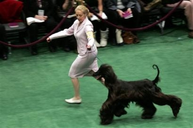 Afghan Hound, Westminster Kennel Club Dog Show, USA [AP 2006-02-14]; Image ONLY