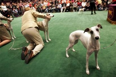 Whippet, Westminster Kennel Club Dog Show, USA [AP 2006-02-14]; Image ONLY