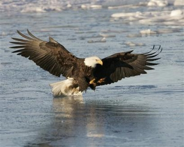 Government Develops Plan to Remove American Bald Eagle From Endangered List [AP 2006-02-14]; Image ONLY