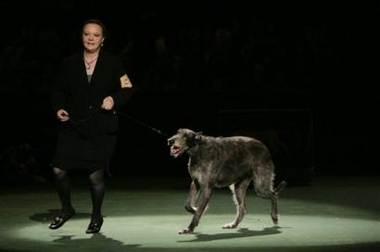 Scottish Deerhound, Westminster Kennel Club Dog Show, USA [AP 2006-02-15]; Image ONLY