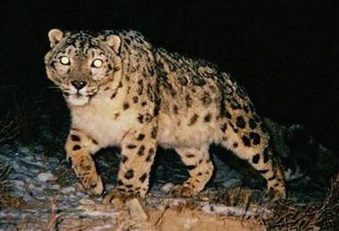 Endangered Snow Leopard, China [AP 2006-02-17]; Image ONLY