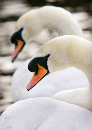 Mute Swans, Bird Flu, Britain [REUTERS 2006-02-20]; Image ONLY