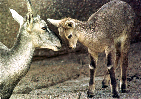 Wolves May Rein in Formerly Rare Sheep [AFP 2006-02-17]; Image ONLY