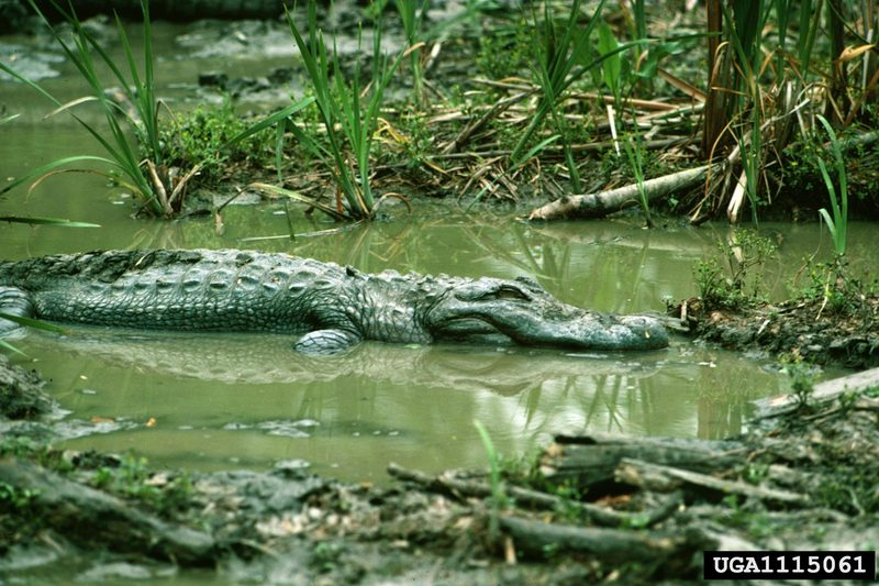 American alligator (Alligator mississippiensis){!--미시시피악어-->; DISPLAY FULL IMAGE.