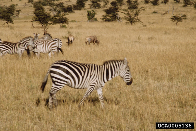Plains Zebras (Equus burchelli) <!--초원얼룩말-->; Image ONLY