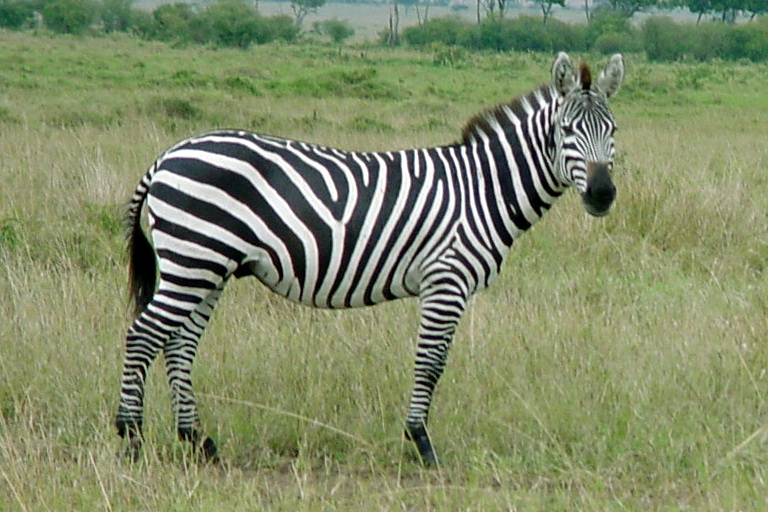 Plains Zebra (Equus burchelli) <!--초원얼룩말-->; Image ONLY