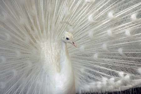 White Peacock, Jordan [REUTERS 2006-02-21]; Image ONLY