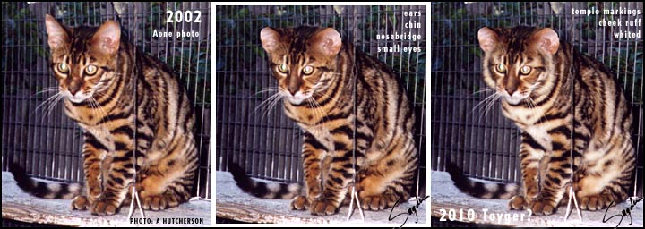 Toyger Cat; Image ONLY