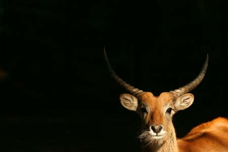 Red Lechwe (Kobus leche), Zoo, Spain [REUTERS 2006-02-22]; Image ONLY