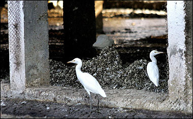 Egrets, Bird Flu, India [AFP 2006-02-23]; Image ONLY