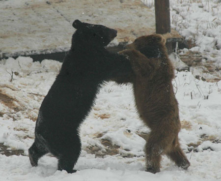 Wrestling Brown Bears; Image ONLY
