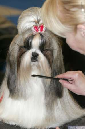 Shih-Tzu, Dog show, Russia [REUTERS 2006-02-26]; Image ONLY