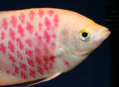 Company offers custom fish tattoos with laser [Practical-Fishkeeping 2006-02-23]; Image ONLY