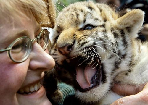Cute Siberian Tiger Cub; Image ONLY
