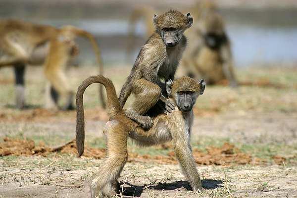 baboon1030204.jpg