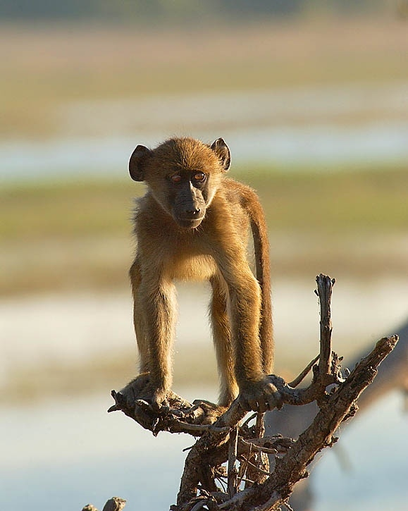 Baboons; Image ONLY