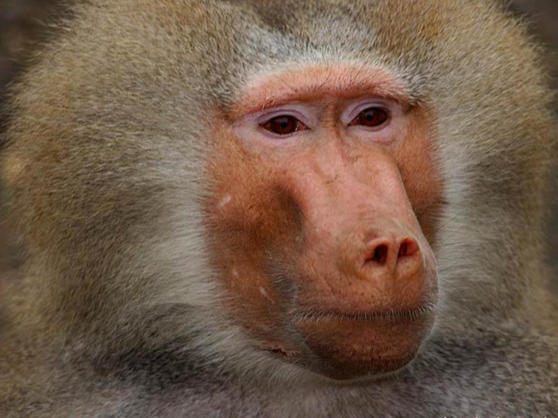 baboon1080604.jpg