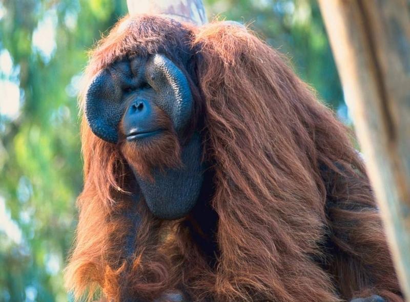 baboon4022204.jpg