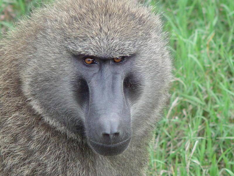 baboon11022204.jpg