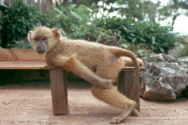 baboon8022204.jpg