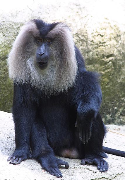 baboon9022204.jpg