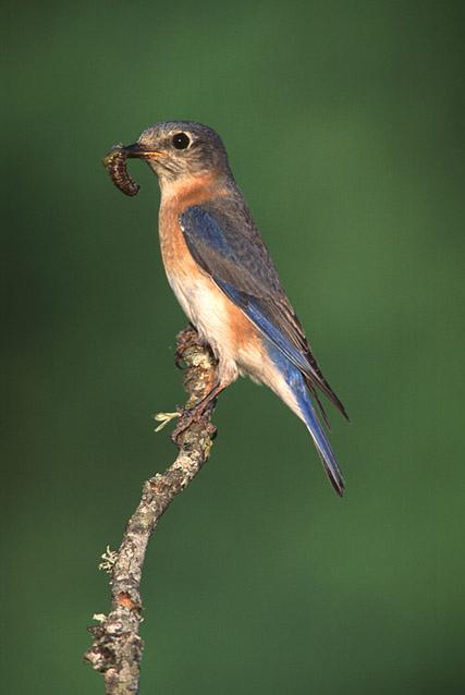 birdbluebird4030204.jpg