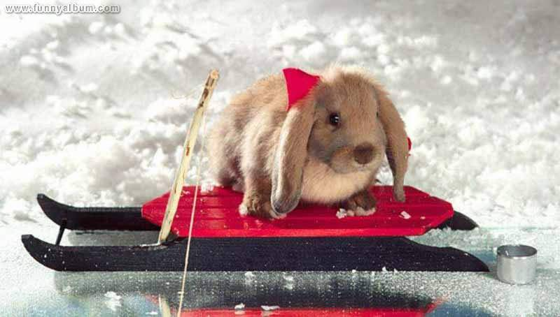 Sled Rabbit; Image ONLY