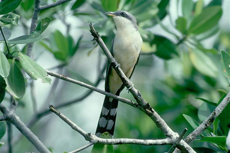 Black-billed Cuckoo; DISPLAY FULL IMAGE.