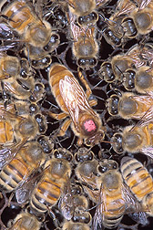 Africanized Honey Bees Are Still on the Move [USDA-ARS 2006-03-06]; Image ONLY