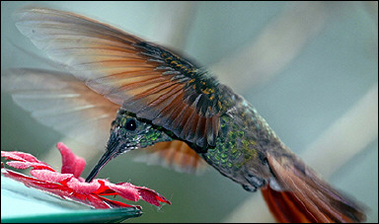 Rufous Hummingbird, Mexico [AFP 2006-03-07]; Image ONLY