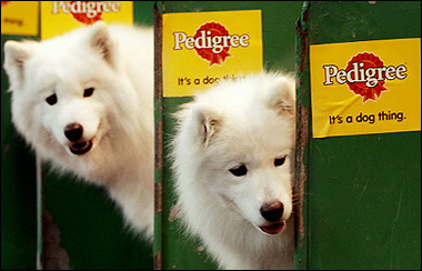 Samoyed Dogs, Crufts Dog Show 2006, Britain [AFP 2006-03-09]; Image ONLY
