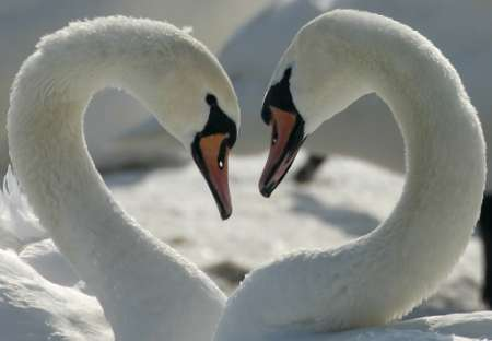 Hearting Mute Swans, Bird Flu, Poland [REUTERS 2006-03-09]; Image ONLY