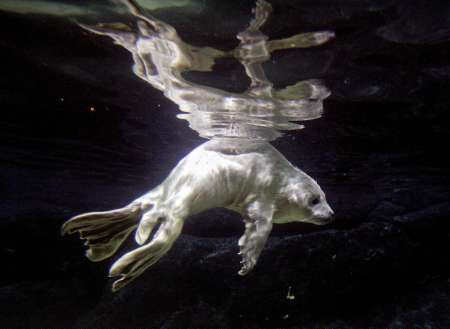 Spotted Seal Pup, Thailand [REUTERS 2006-03-10]; Image ONLY