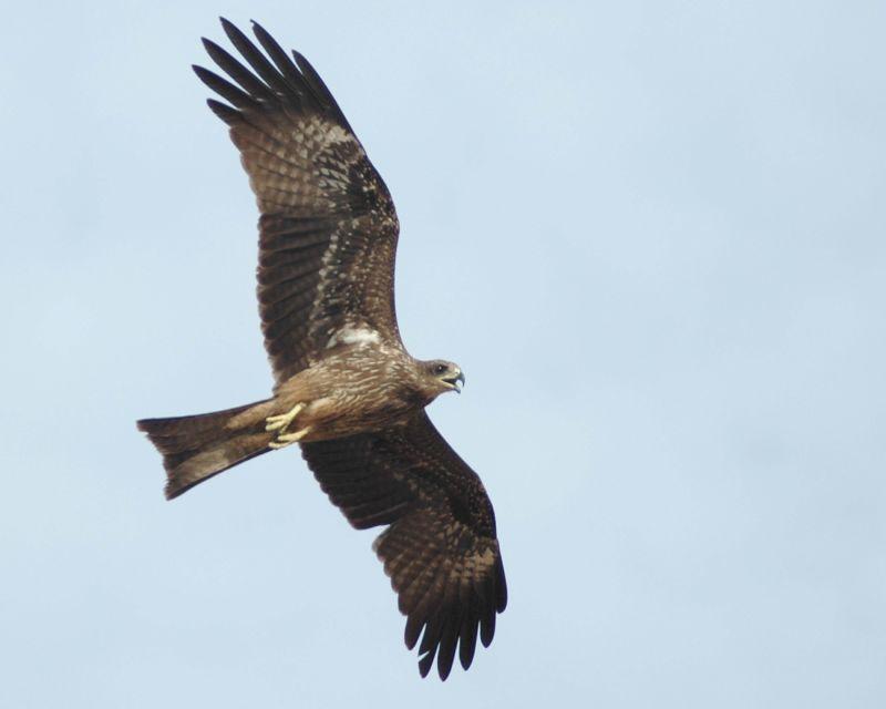 Bird of prey in flight.jpg