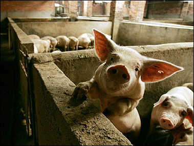 Pigs, Foot-and-mouth Disease, China [AFP 2006-03-13]; Image ONLY